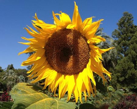 ___Sunflower