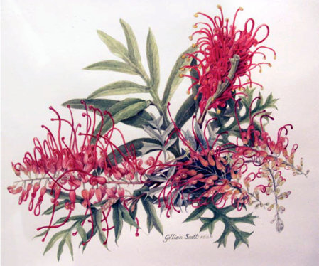 Gillian Scott Grevillea x 'Robyn Gordon' 1993 Watercolour on paper 25 x 35 cm Courtesy of the artist